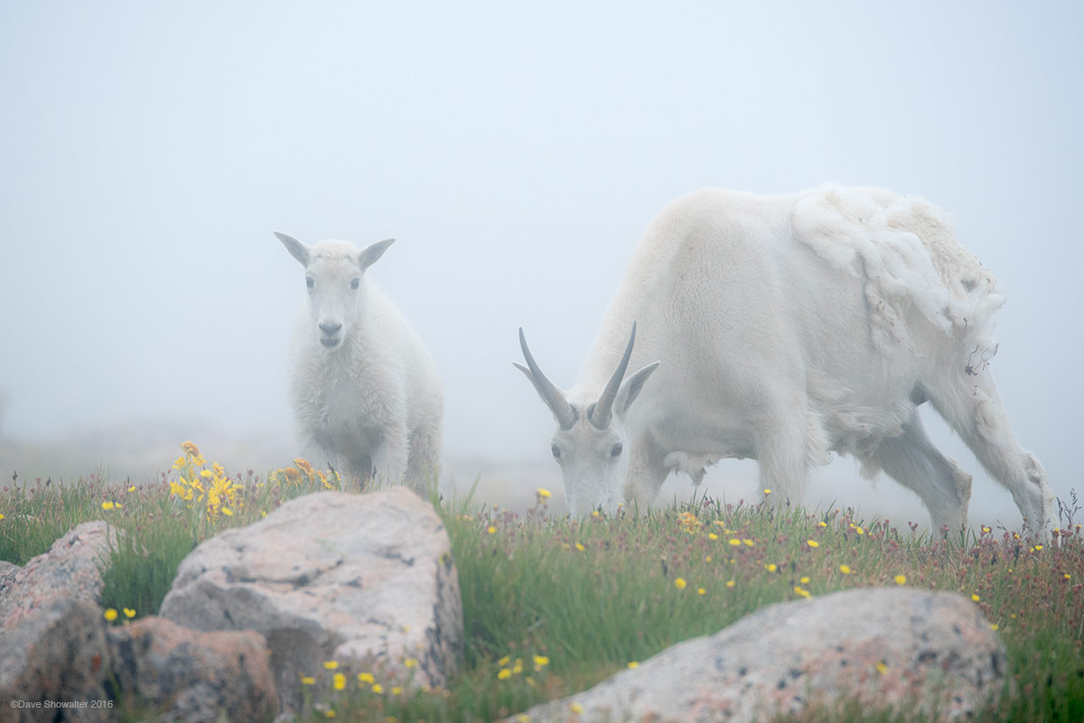 A mountain goat nanny and kid graze on succulent alpine tundra grasses high on (14,265') Mount Evans. The Mount Evans Wilderness...
