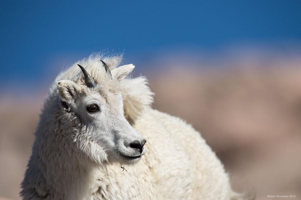 mountain goat, mount evans, photo