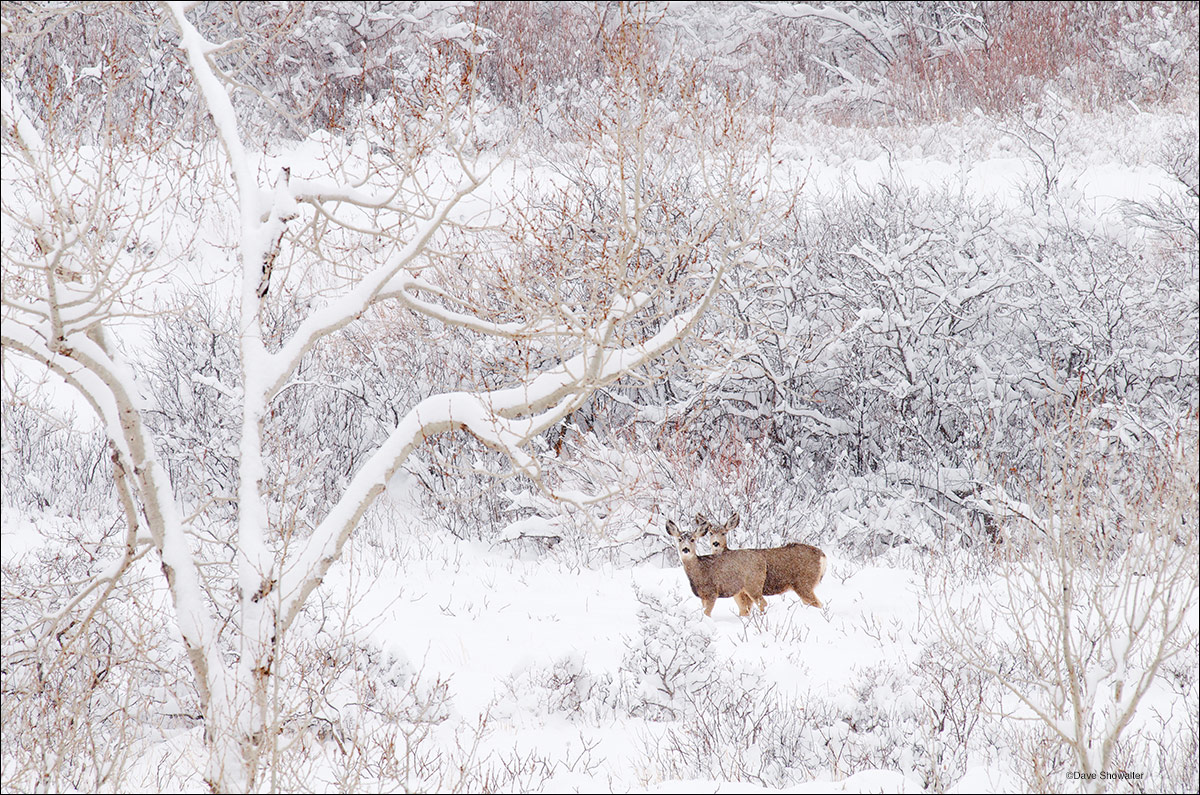 A pair of mule deer does pause while browsing along South Boulder Creek to observe the photographer on a remarkable winter...