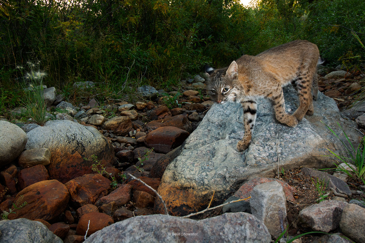 In early morning, an adult bobcat travels a dry watercourse, as we would a roadway. In several months with a camera trap situated...
