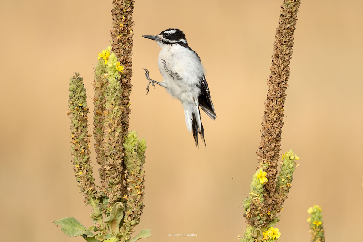 In late summer, a pair of downy woodpeckers were feeding voraciously on meullein, an invasive plant with nutritious seeds. In...