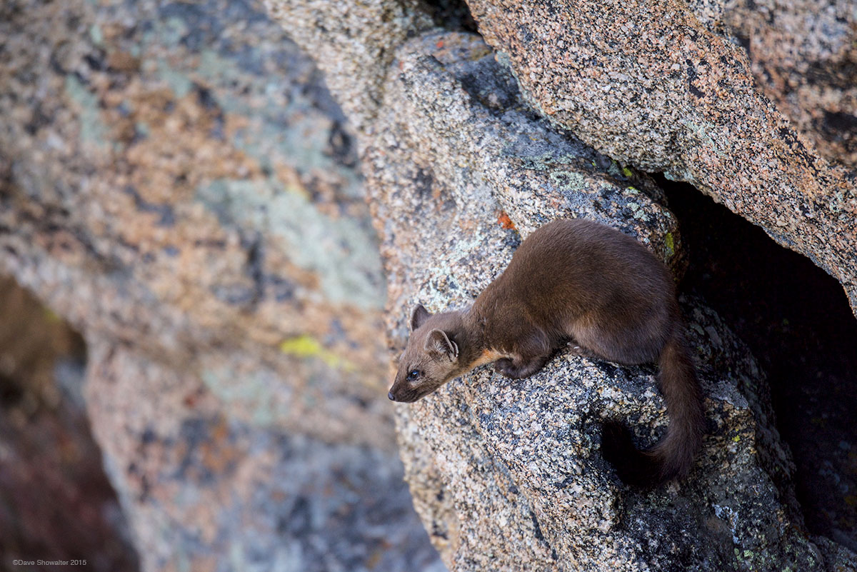 pine marten, rockies, photo