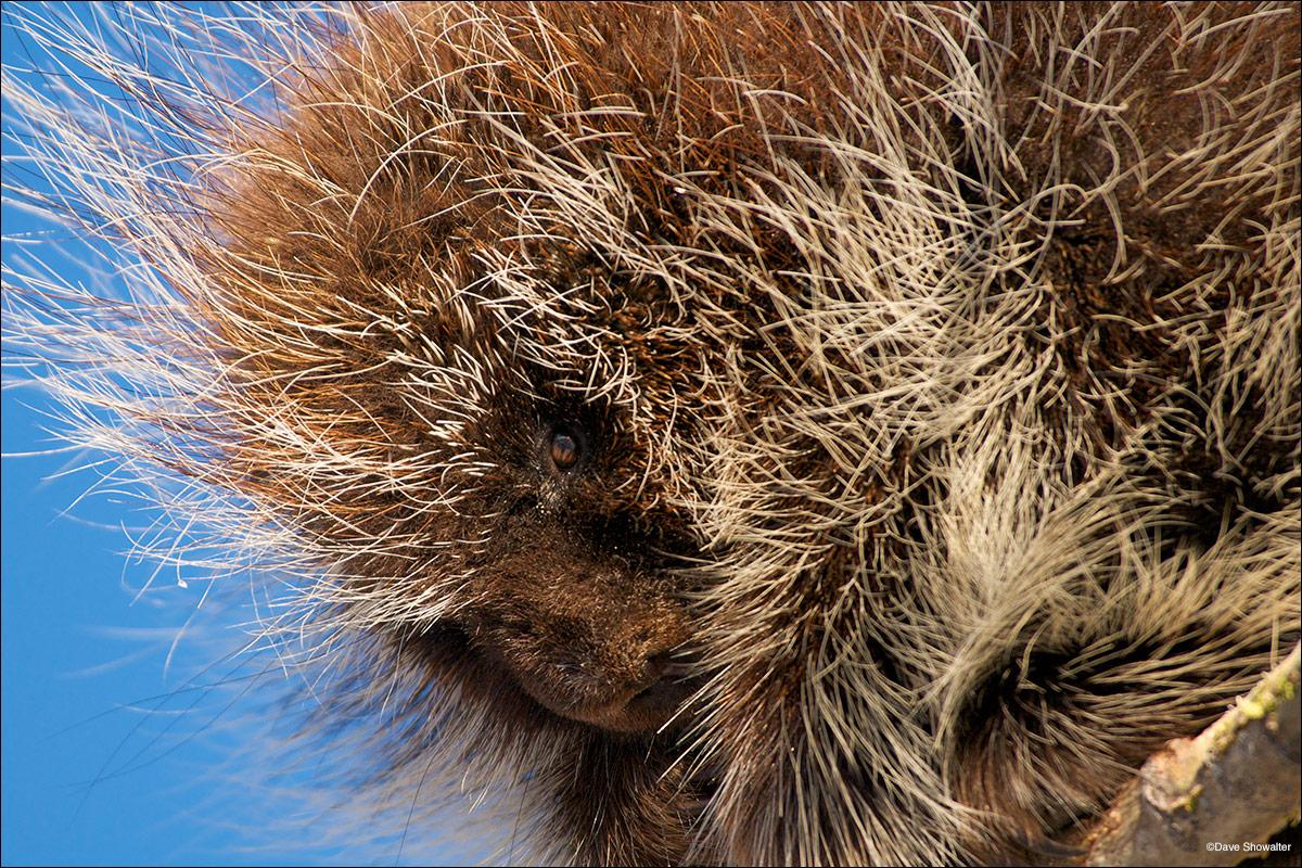Rocky Flats National Wildlife Refuge, North American Porcupine, xeric tallgrass prairie, photo