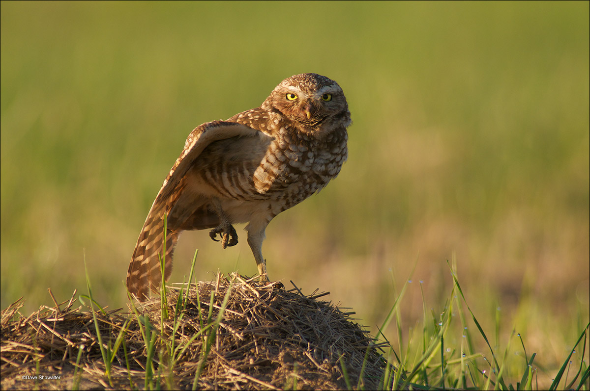 A female Western burrowing owl stretches her wing while perched on a prairie dog burrow. I photographed this owl from a...