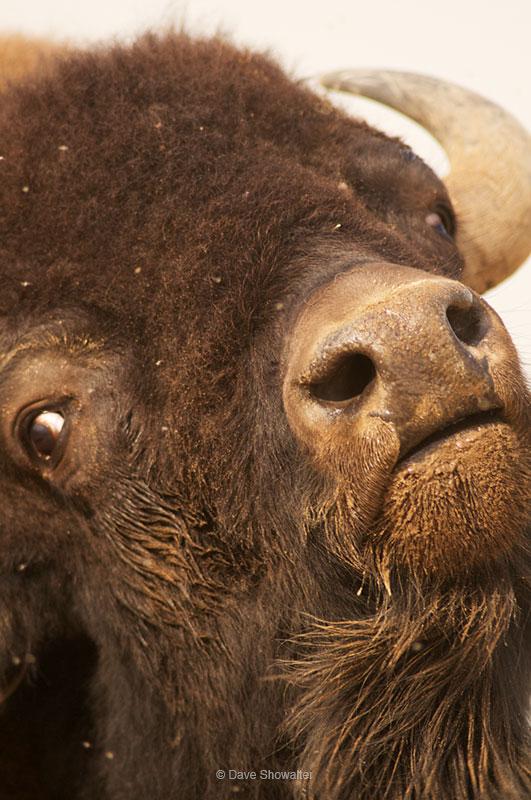 bison, national mammal, photo