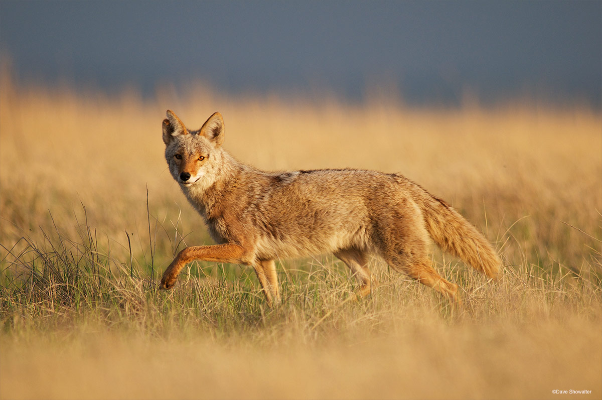 While roaming the shortgrass prairie, this coyote glanced towards my photo blind in mid-stride. With good grassland habitat and...