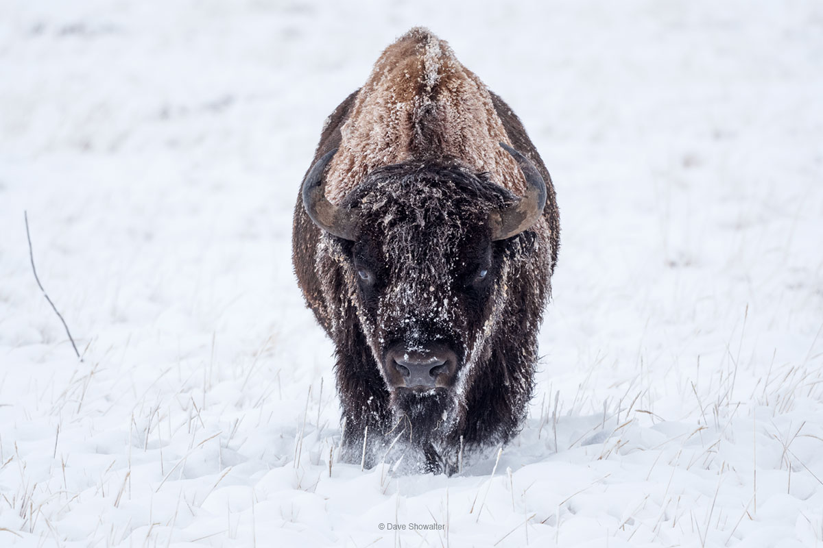 A single, majestic bison bull moves effortlessly over prairie, through fresh snow in late autumn.