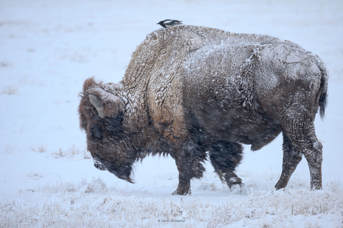 bison, magpie, photo