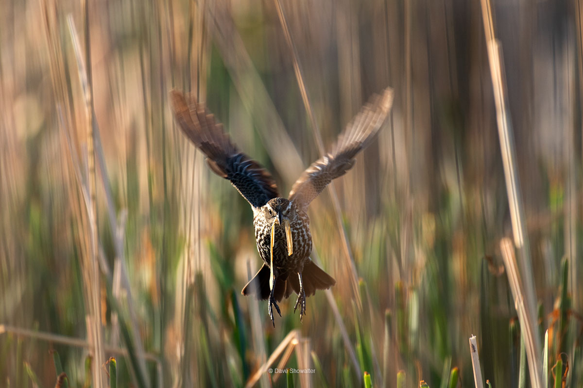 red-winged blackbird, nest , photo