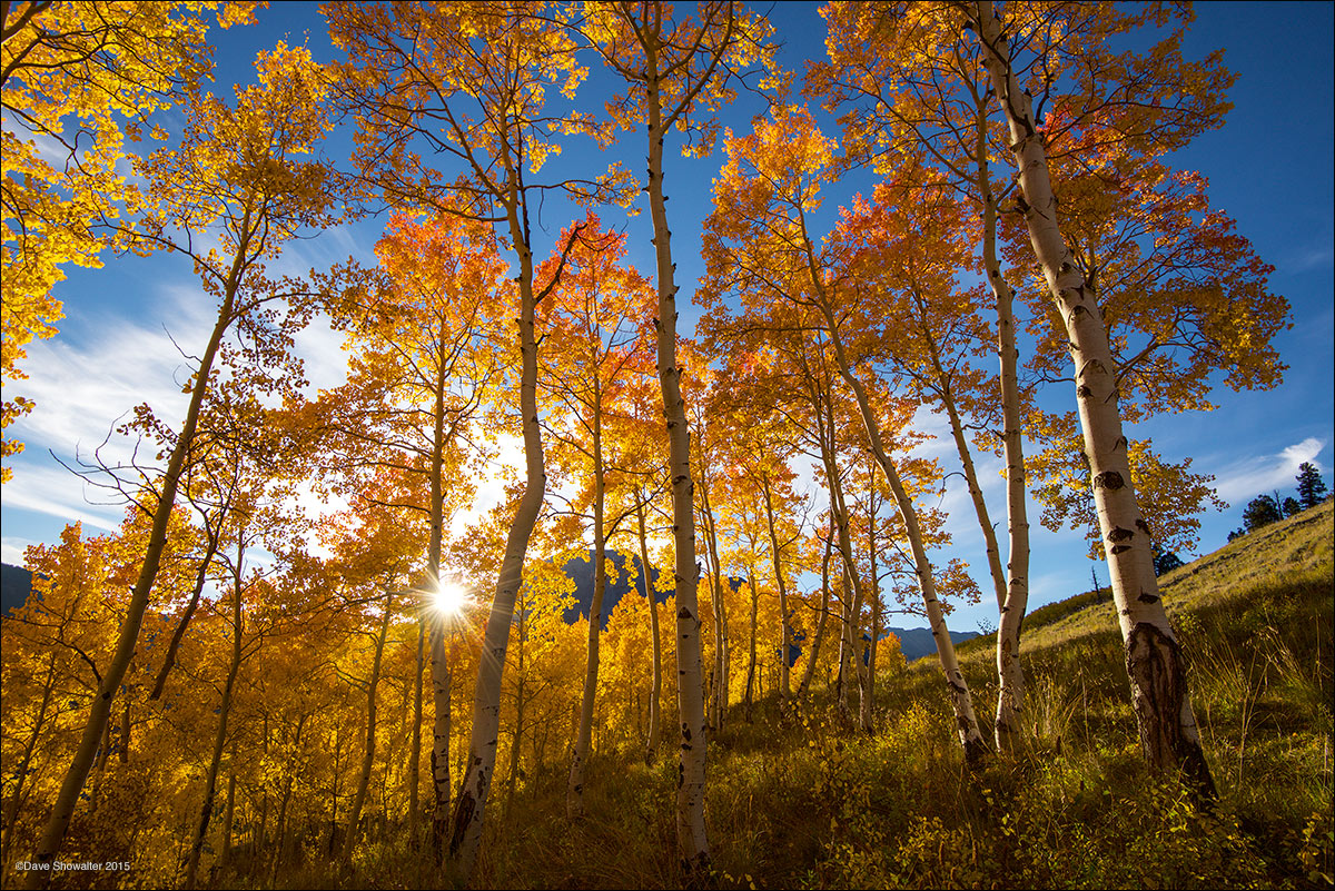 Just before dipping behind Gothic Mountain, the setting sun illuminates a stand of red-tipped autumn aspen. Aspen trees are colonial...
