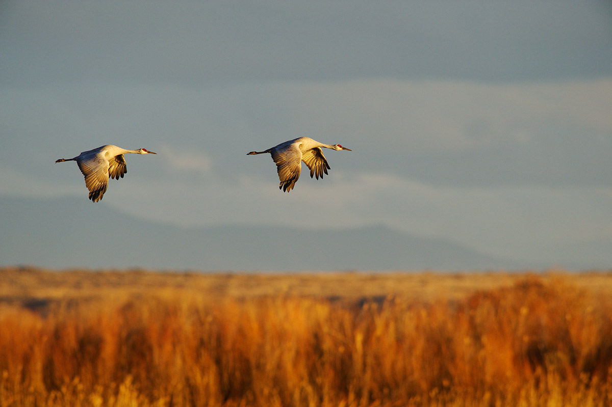 sandhill cranes, Bosque, photo