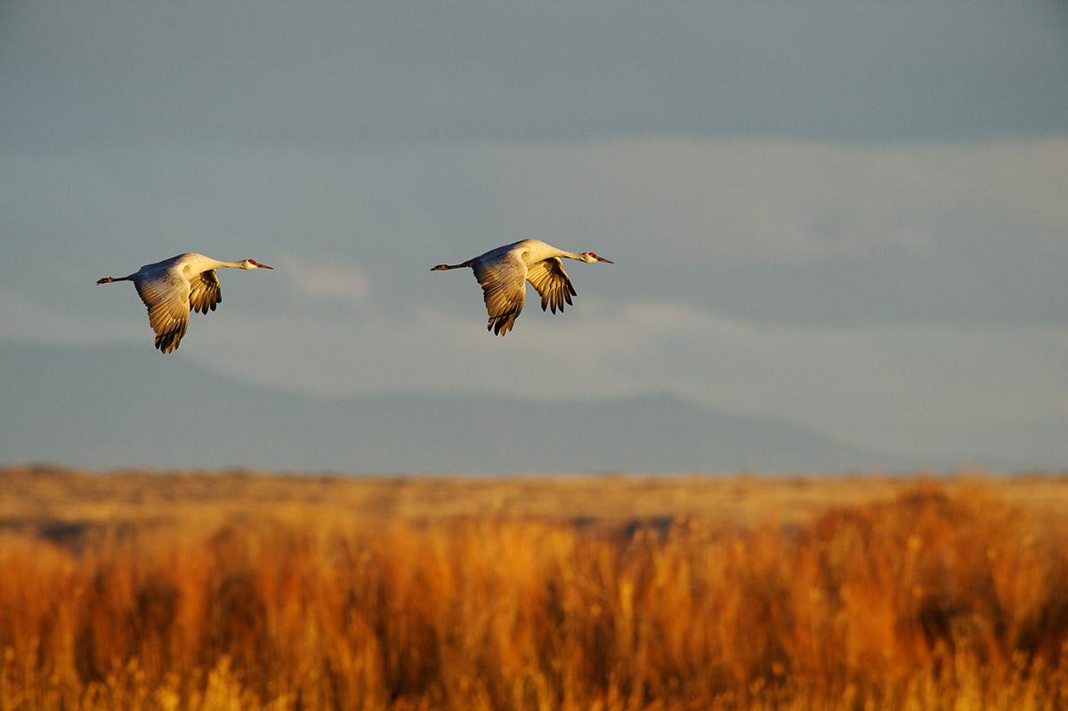 sandhill cranes, Bosque, photo