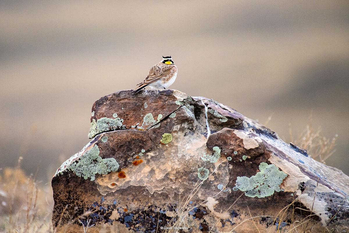 horned lark, soapstone prairie, photo