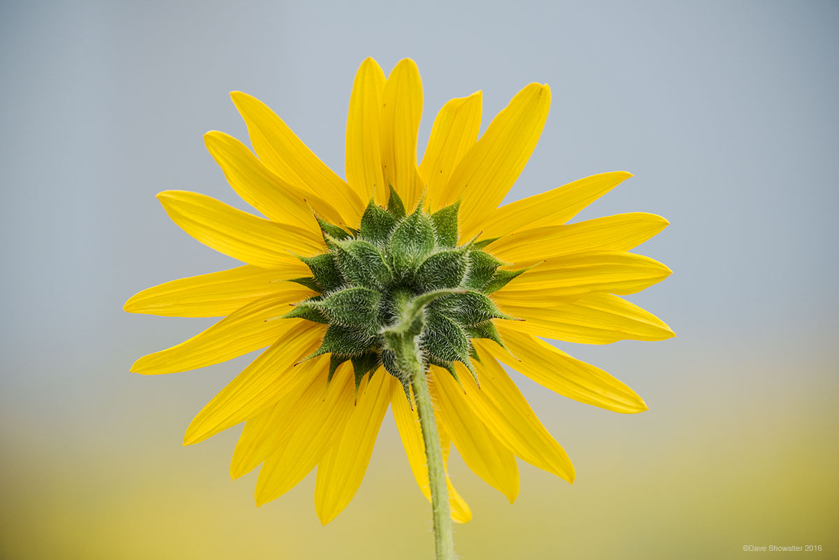 prairie sunflower, wildflower, photo
