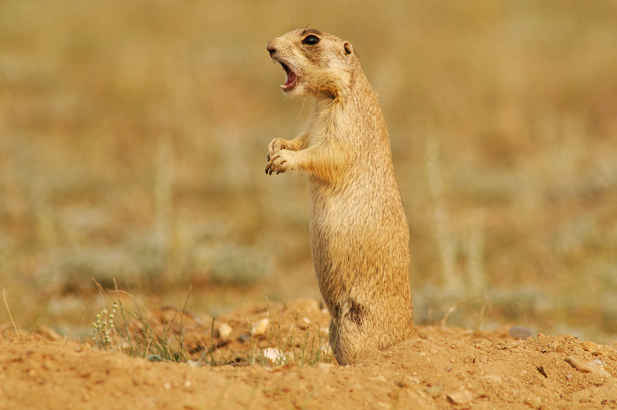 white-tailed prairie dog, keystone species, photo