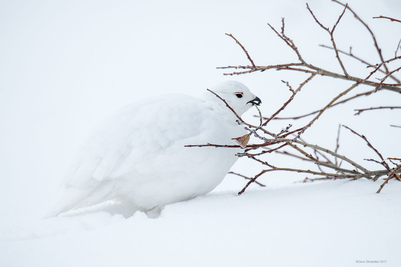 For the white-tailed ptarmigan, alpine willow is life. This ground nesting, smallest of North American grouseand master...