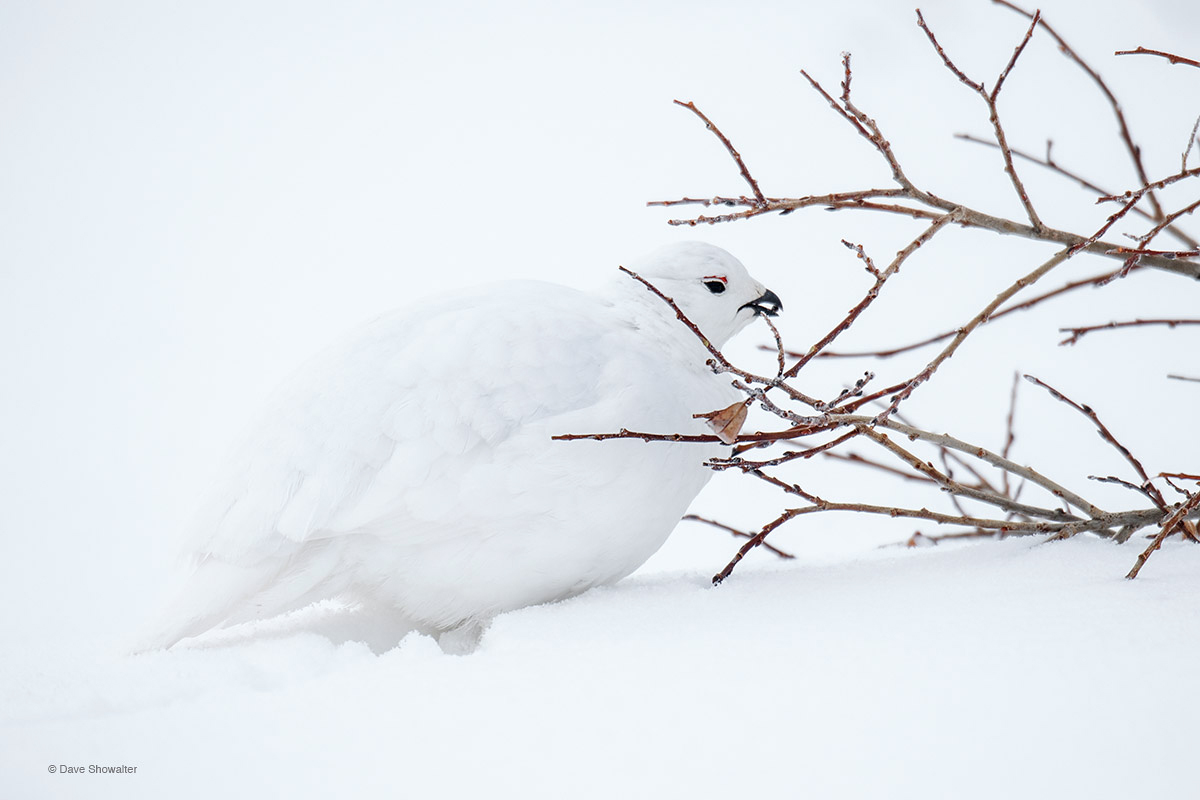 ptarmigan, climate change, photo