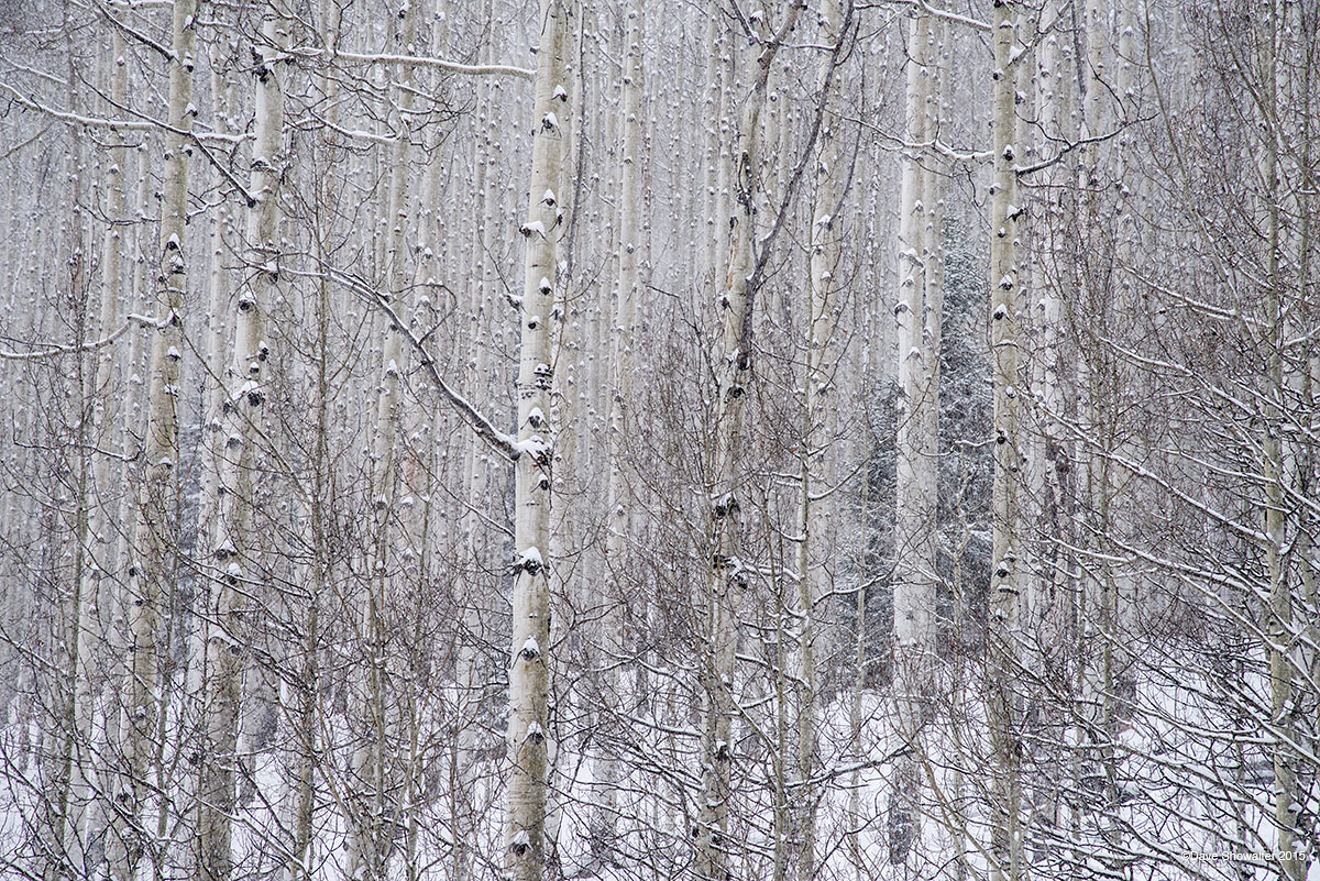 aspen, winter, photo