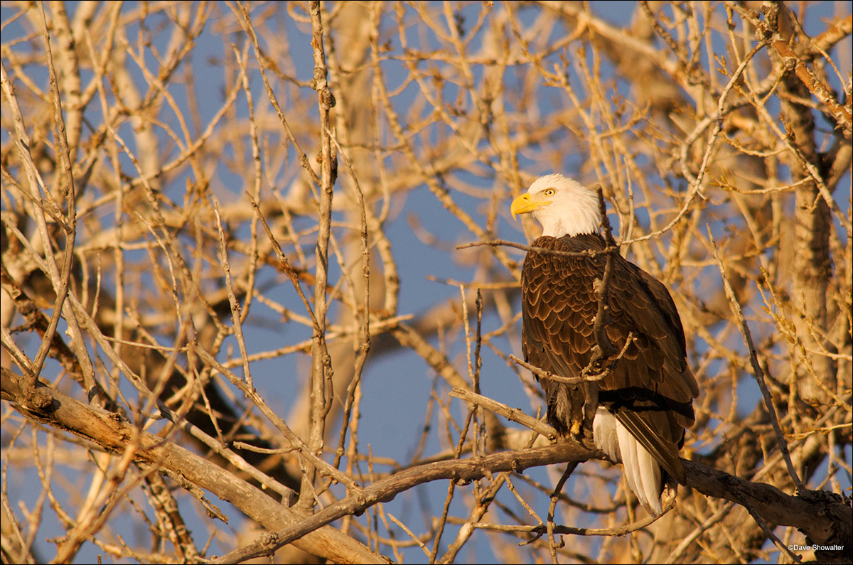 bald eagle, Rocky Mountain Arsenal NWR, photo