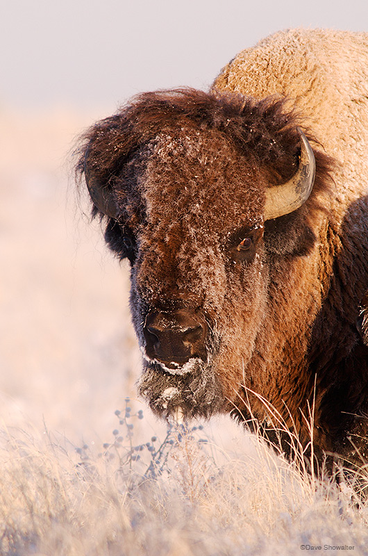 bison, prairie, photo