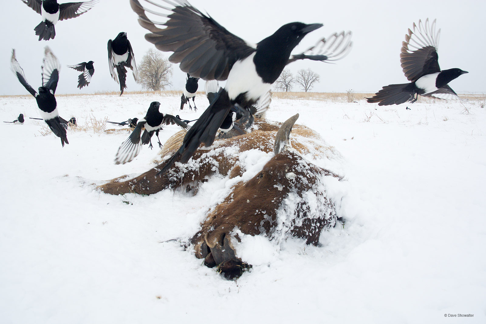 magpie, scavenger, photo