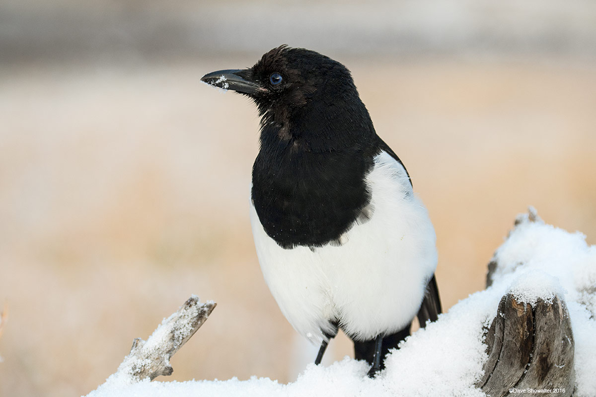 magpie, corvid, photo