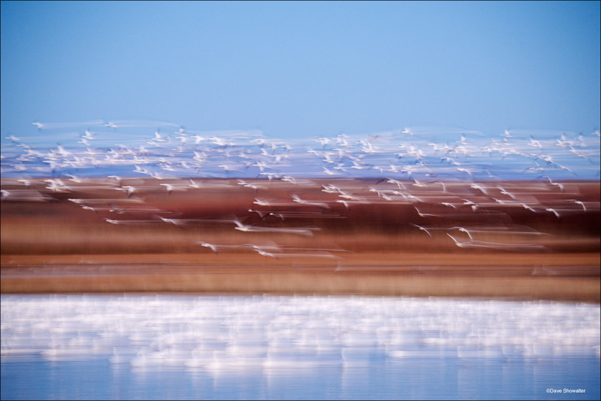 snow geese, bosque del apache, photo