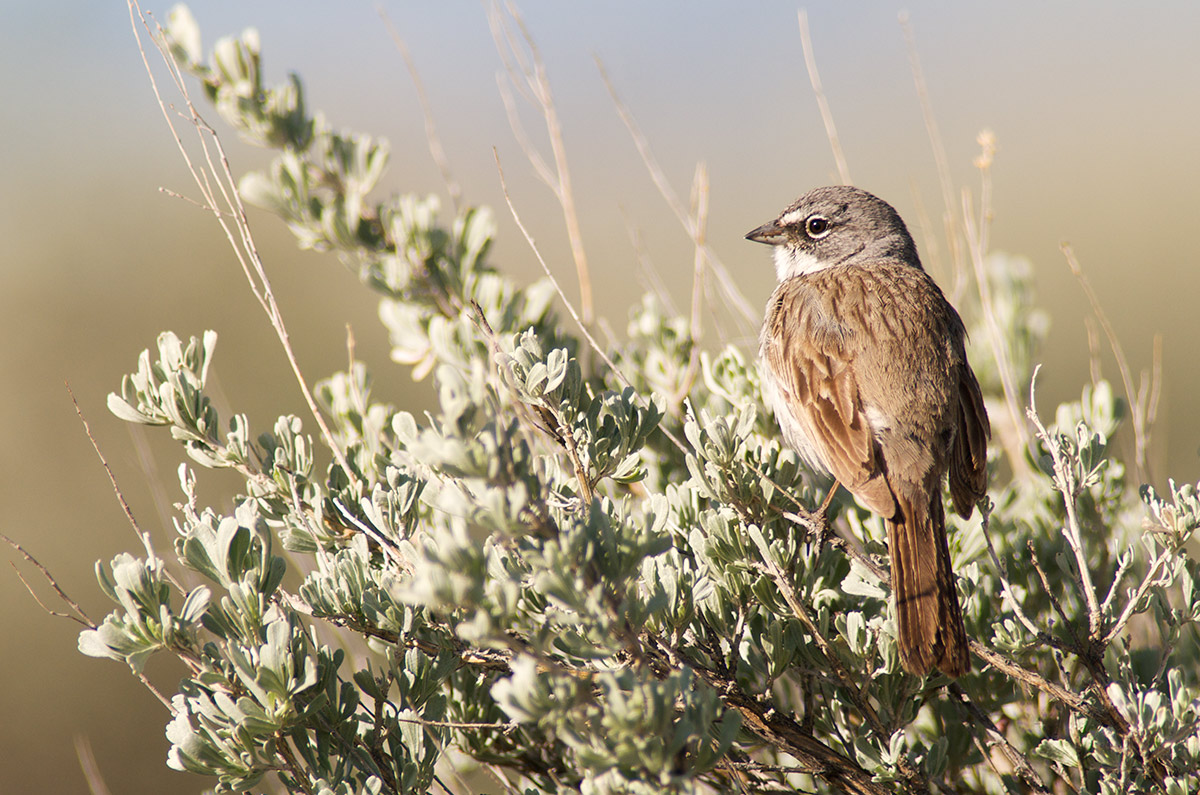 sage sparrow, sagebrush obligate, photo