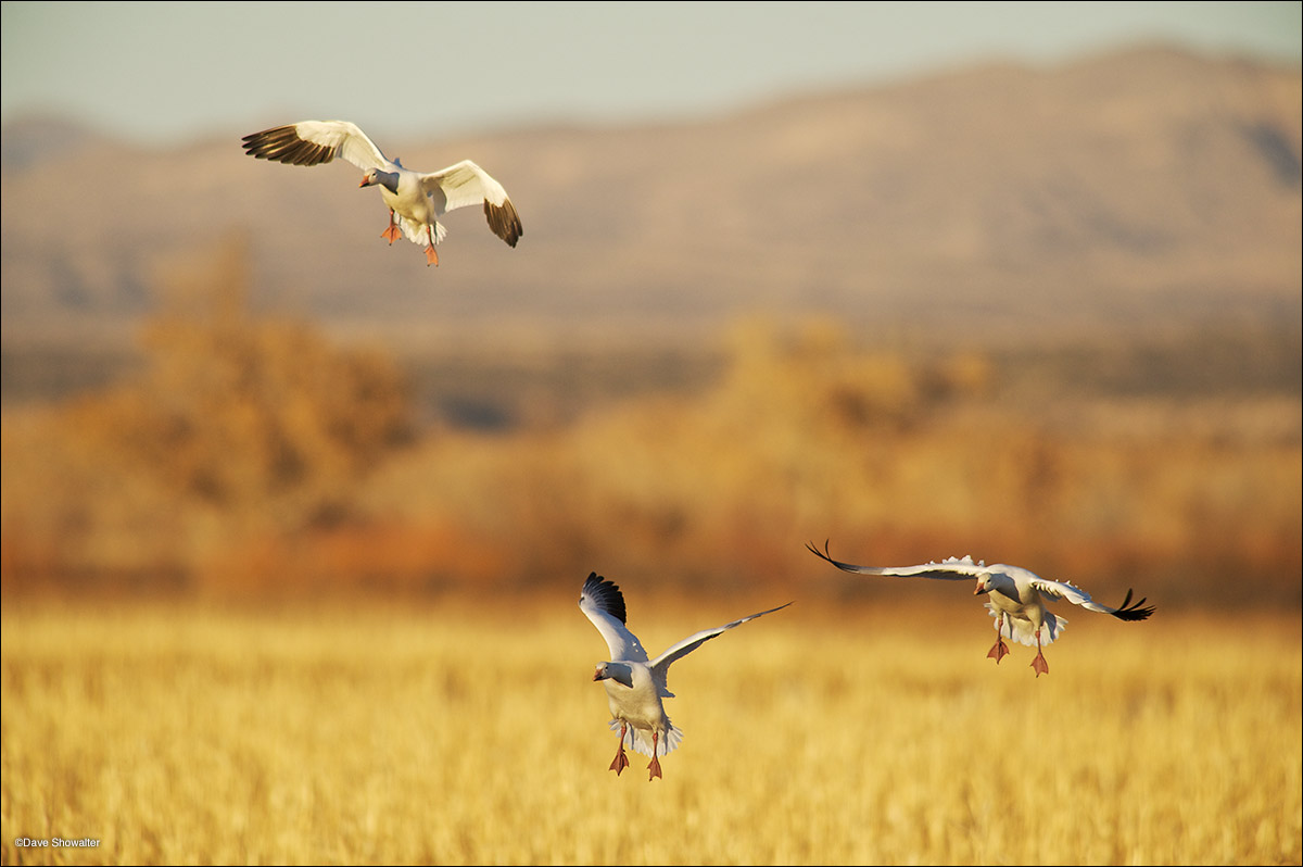 snow geese, corn field, photo